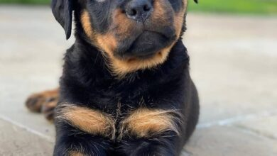 anh cho rottweiler48