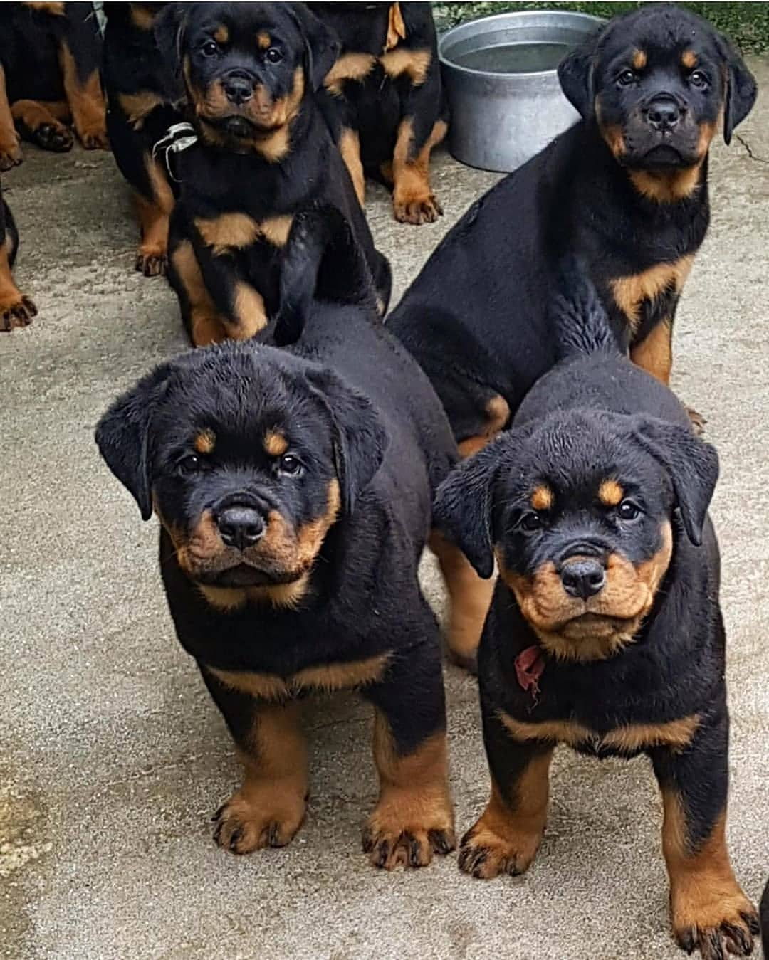 anh cho rottweiler53