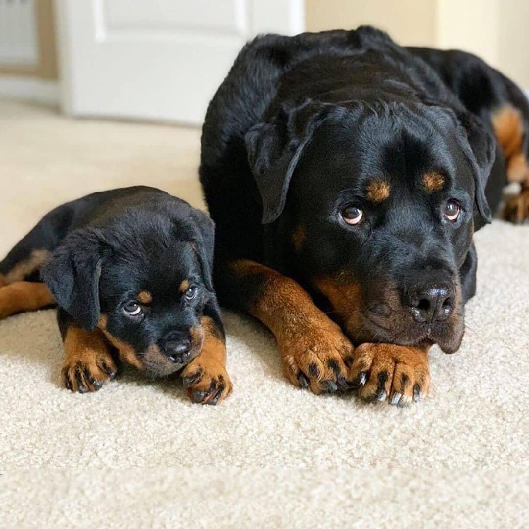2 bố con chó Rottweiler bị phạt