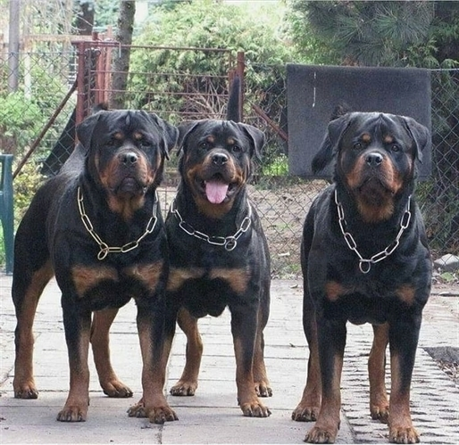 anh cho rottweiler88