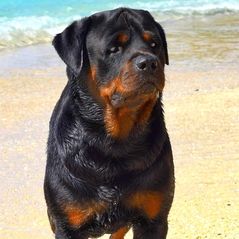 anh cho rottweiler89