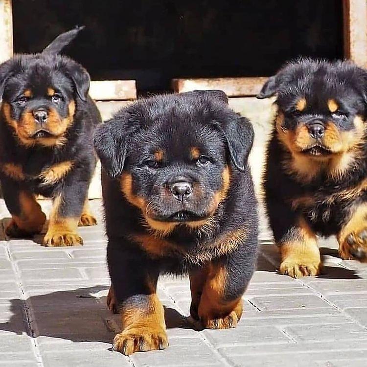 Một số điều cần lưu ý khi nuôi chó Rottweiler sinh sản