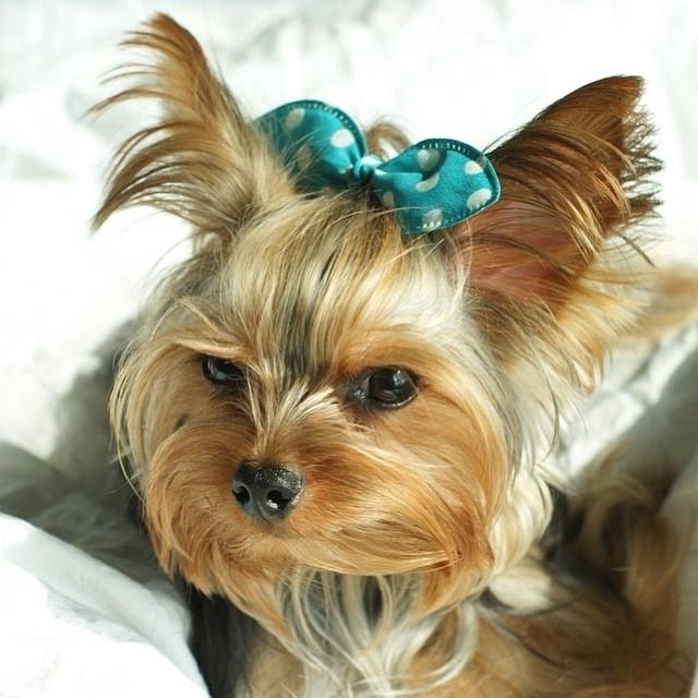 Bệnh thường gặp gỡ ở loài chó Yorkshire Terrier