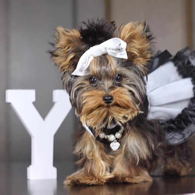 Màu lông chó Yorkshire ảnh hưởng tới giá