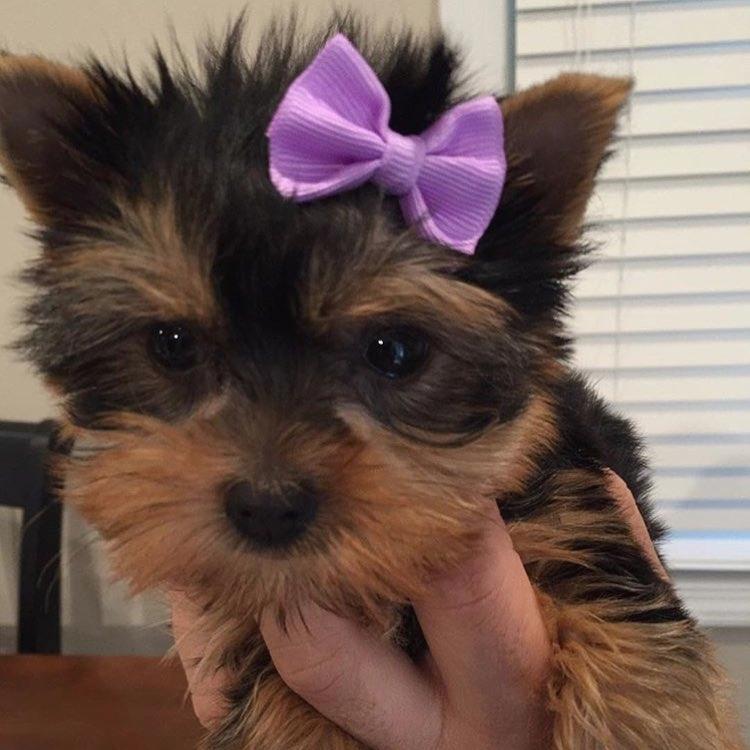 Bộ lông và Màu sắc Yorkshire Terrier