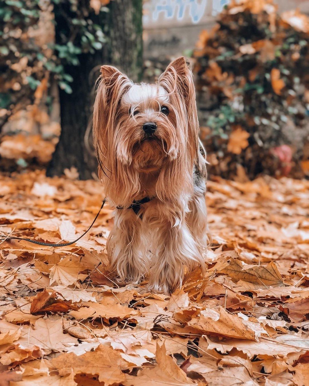 Các thực phẩm mà chó Yorkshire Terrier cần tránh là: ngô, đậu nành