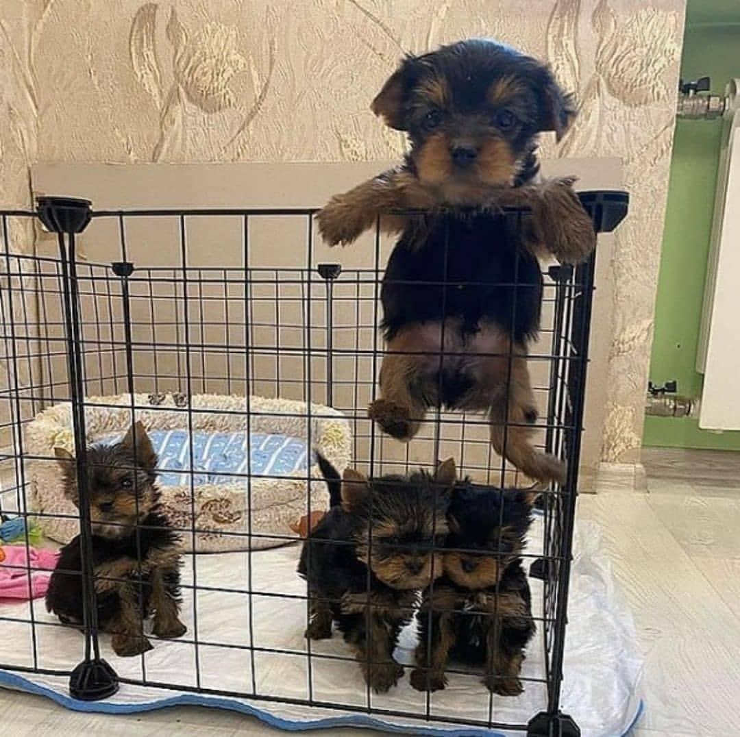 Chó Yorkshire sau sinh