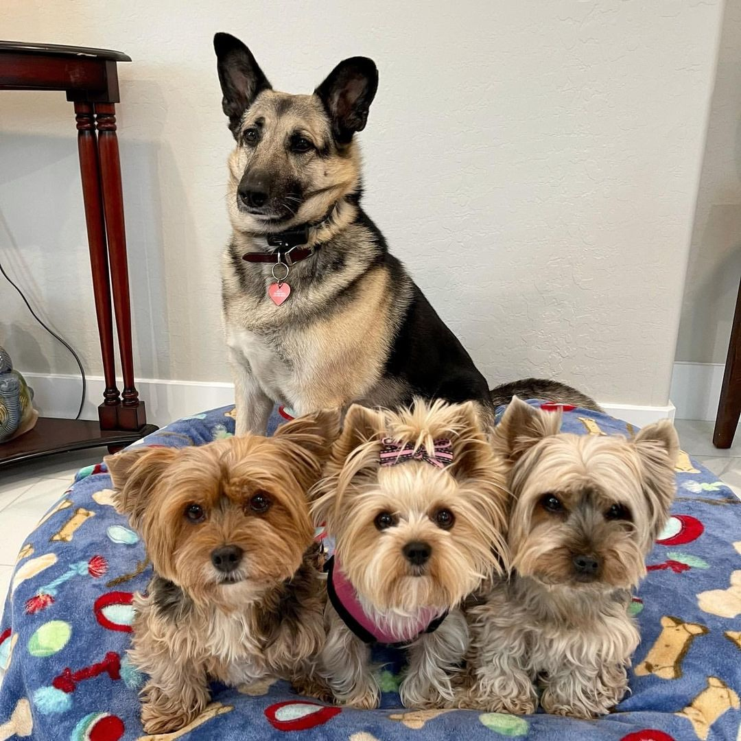 Lưu ý trong quá trình chăm sóc chó Yorkshire sinh sản
