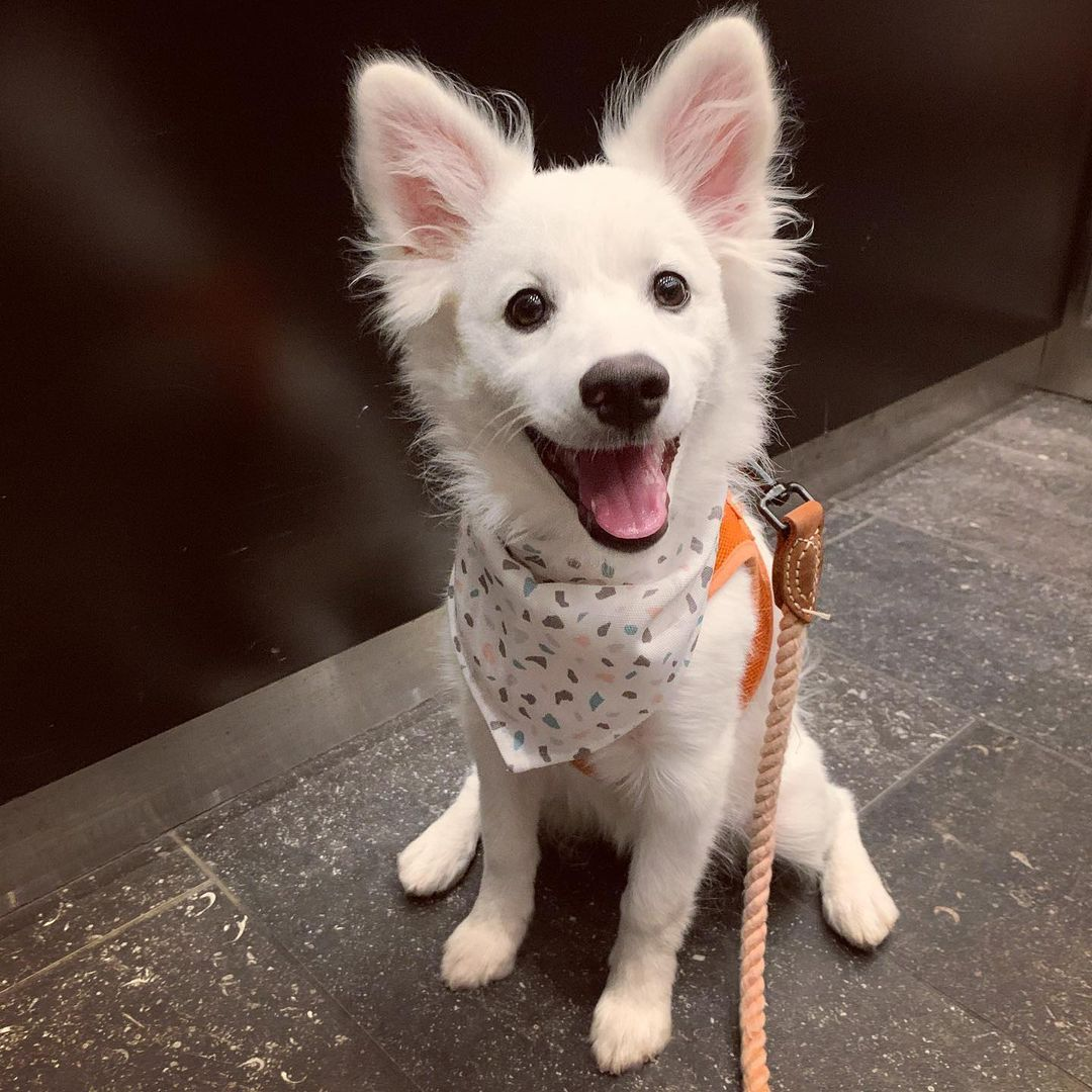 Chăm sóc chó Eskimo
