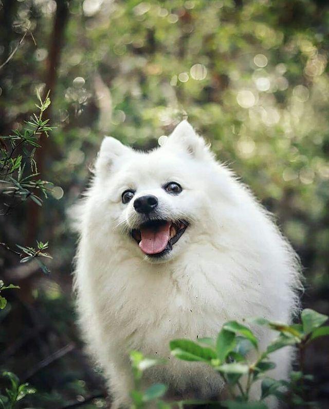 Đặc điểm tính cách chó Eskimo