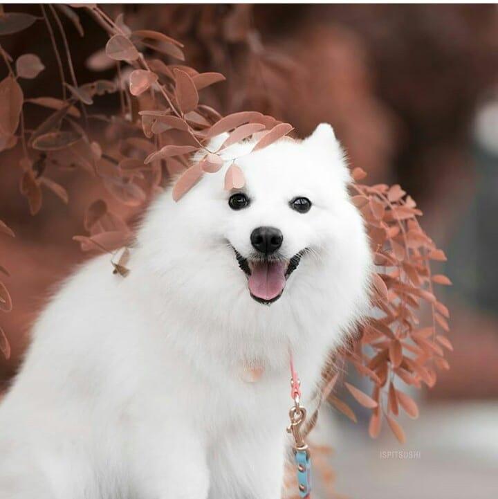 Kích cỡ của chó Eskimo Canada phụ thuộc vào giới tính của chúng