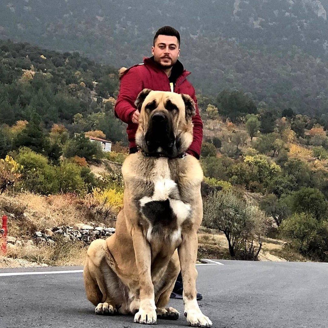 Giá chó Kangal