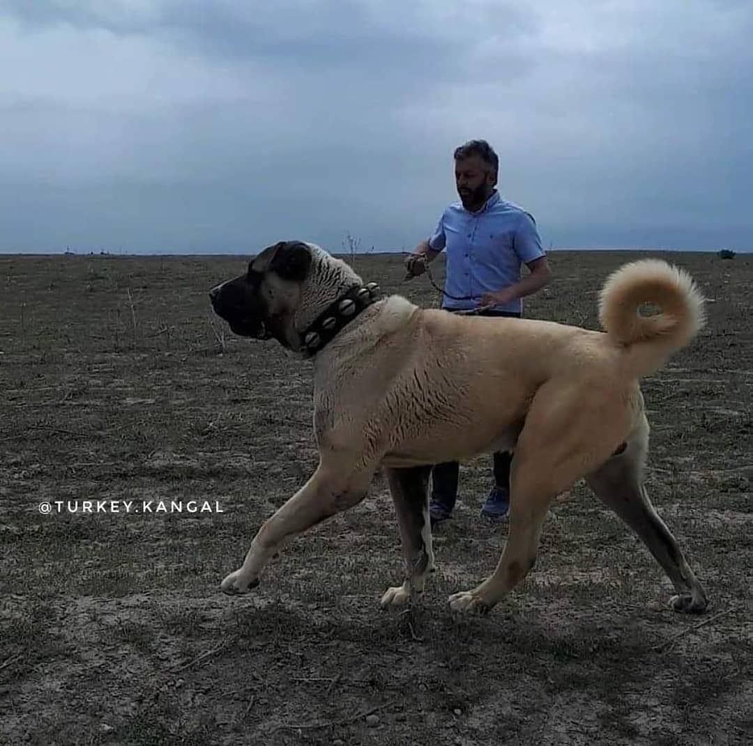 Bệnh thường gặp ở chó Kangal