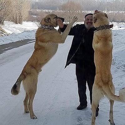 Chăm sóc chó Kangal