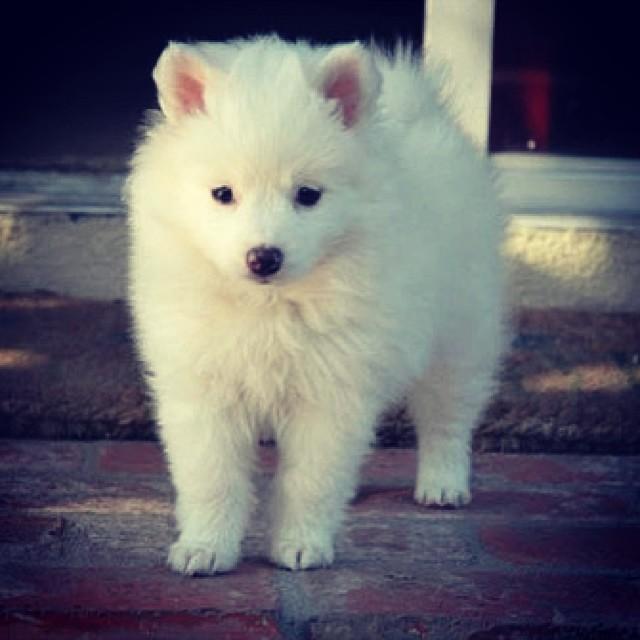 Nhận biết chó Eskimo