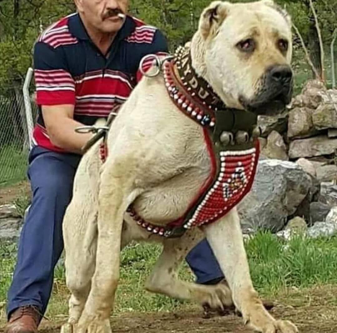 Kangal có khả năng bảo vệ gia súc ở Thổ Nhĩ Kỳ khỏi những loài vật khát máu như chó sói hay hổ