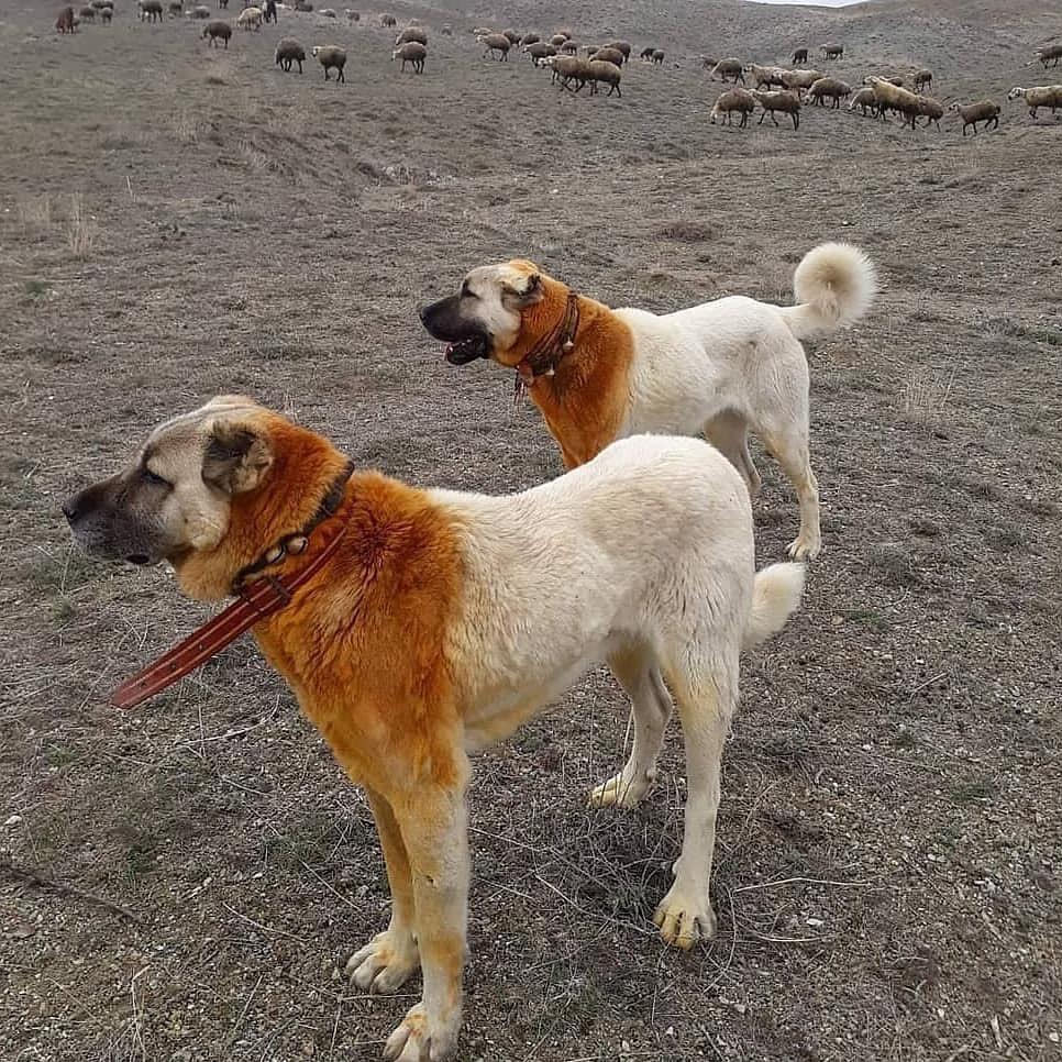 Đặc điểm tính cách chó Kangal