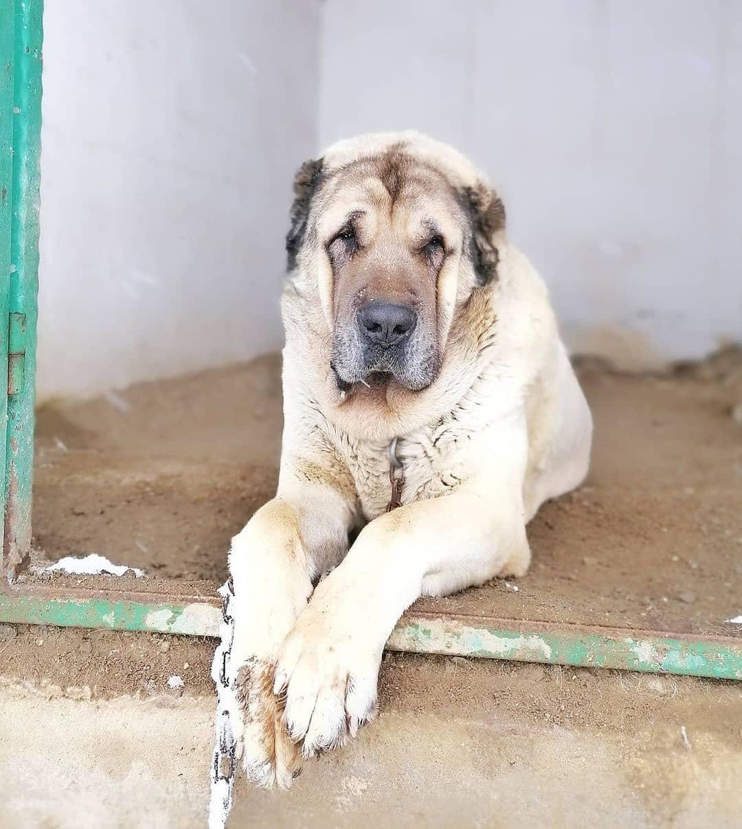 Chó Kangal hội tụ tương đối đầy đủ các yếu tố sẽ giúp đuổi bọn thú vật phá phách