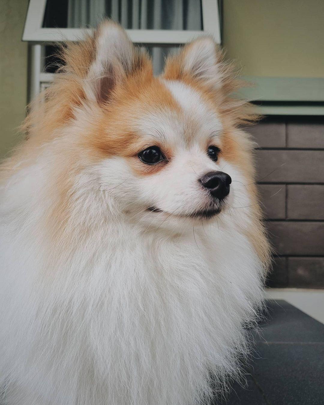 Chó Eskimo- Loài Chó xinh đẹp và cuốn hút