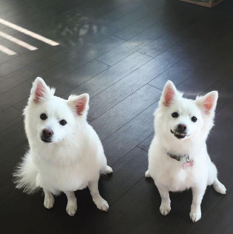 Lưu ý khi nuôi chó Eskimo