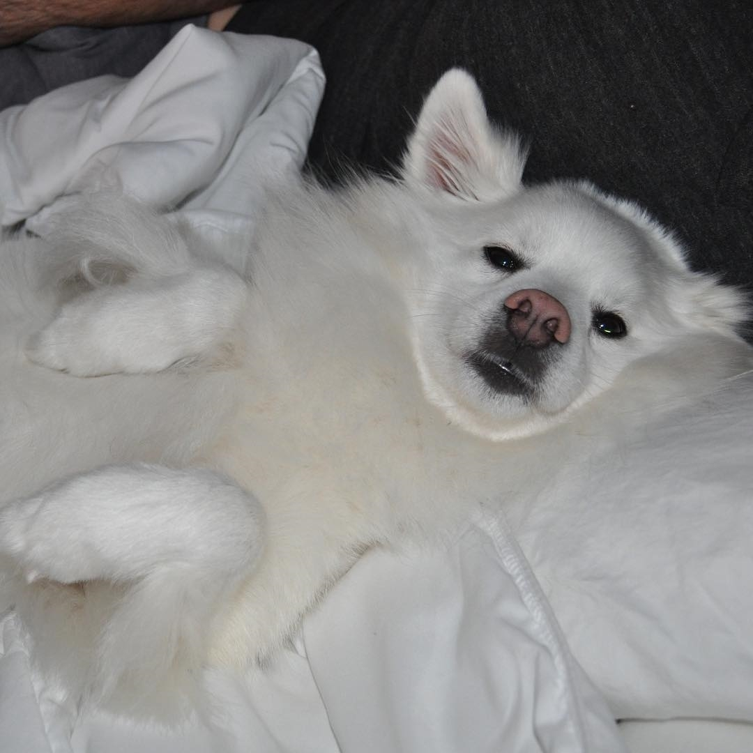 Vệ sinh cho chó Eskimo