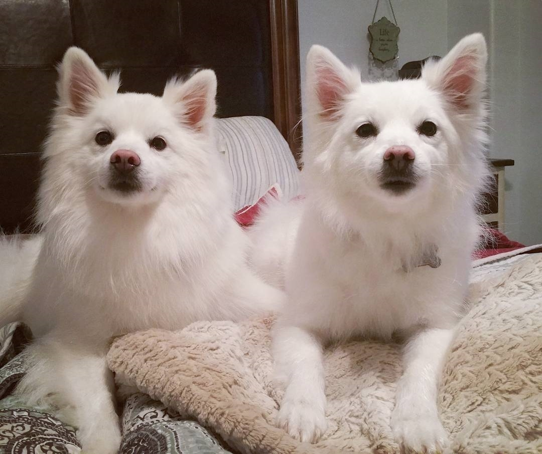 Chó Eskimo Canada