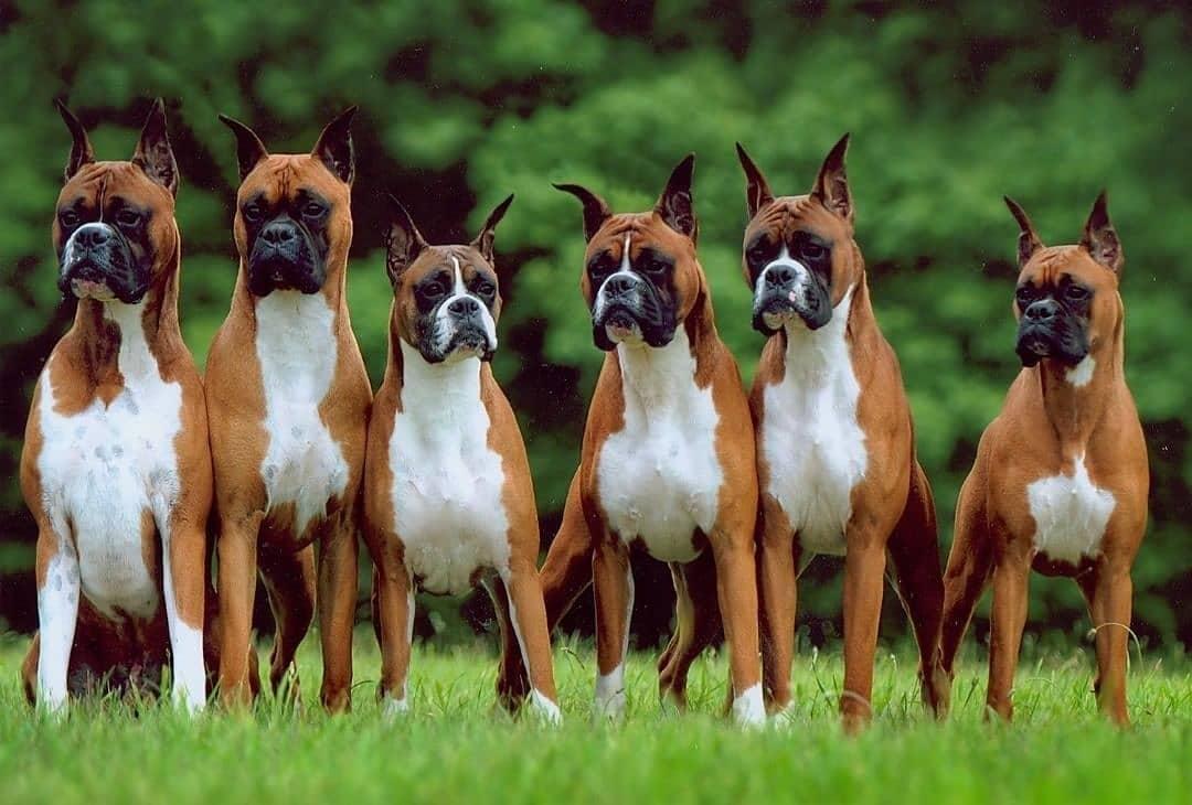 Chế độ dinh dưỡng cho chó Boxer