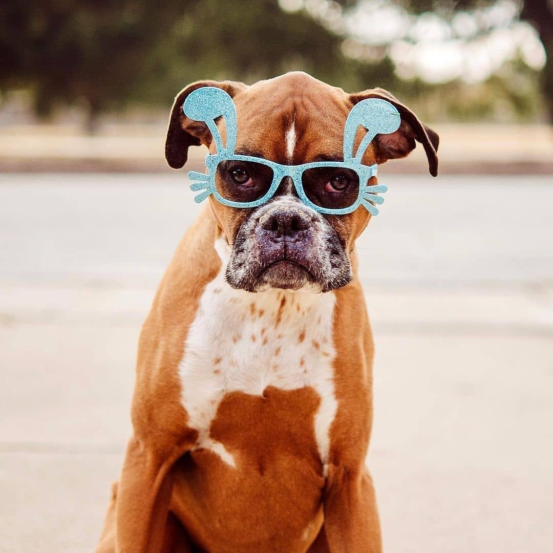 Giá Chó Boxer - các Điều cần phải biết khi mua Bán Chó Boxer