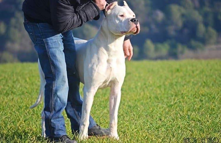 Dogo Argentino 11