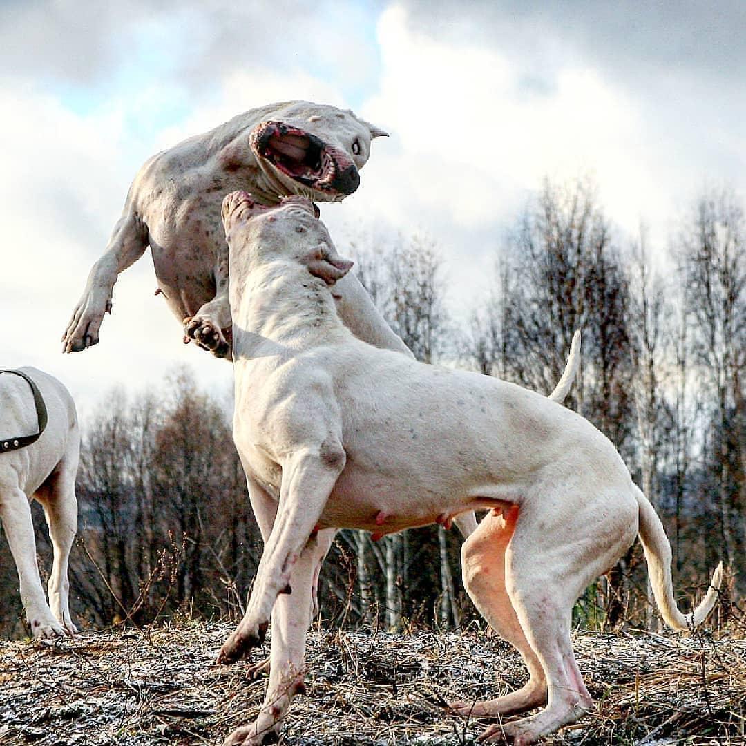 Dogo Argentino 6