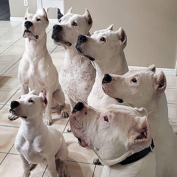 Dogo Argentino 8