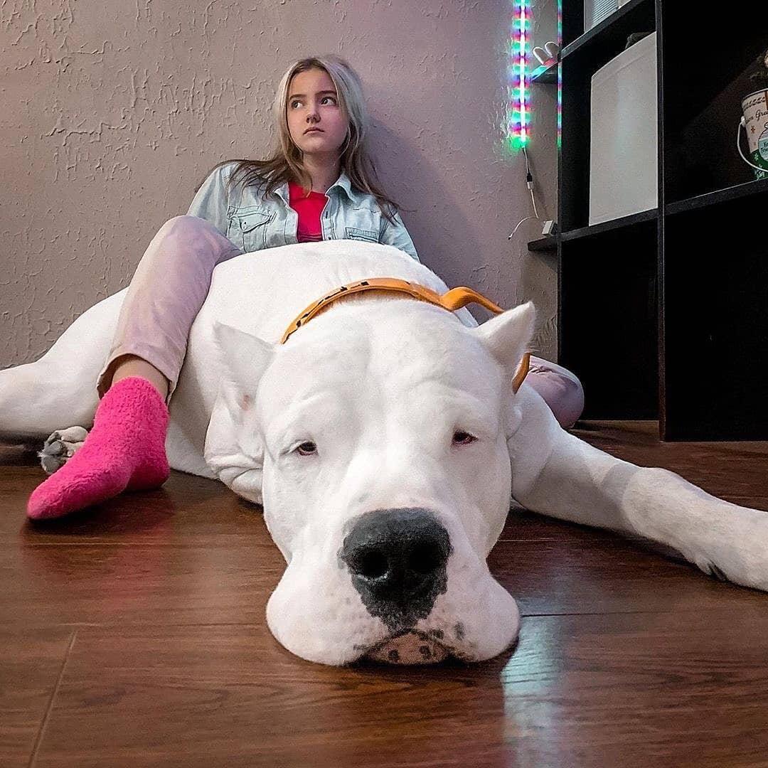 Dogo Argentino 9