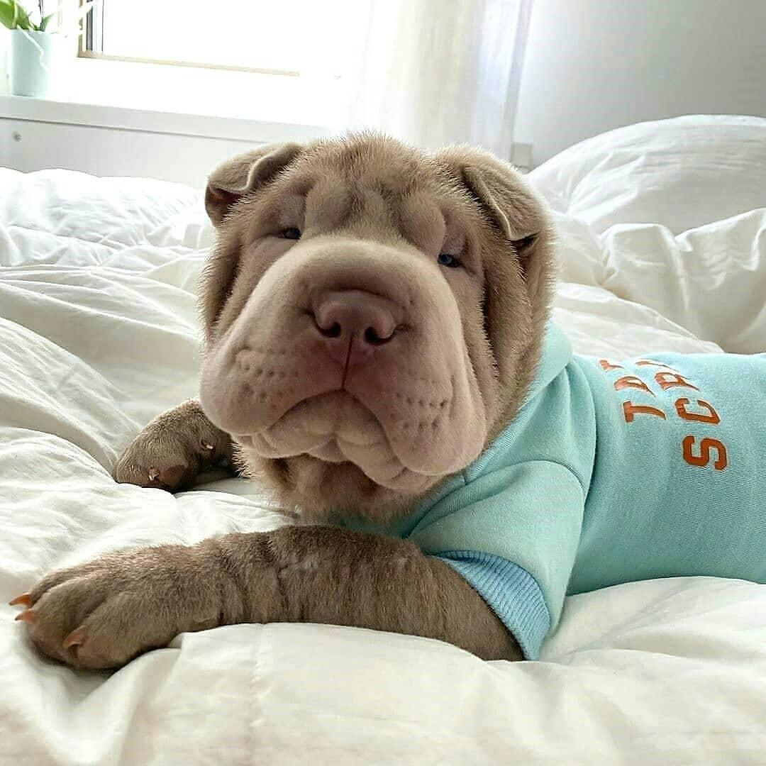 Shar Pei Dog 1