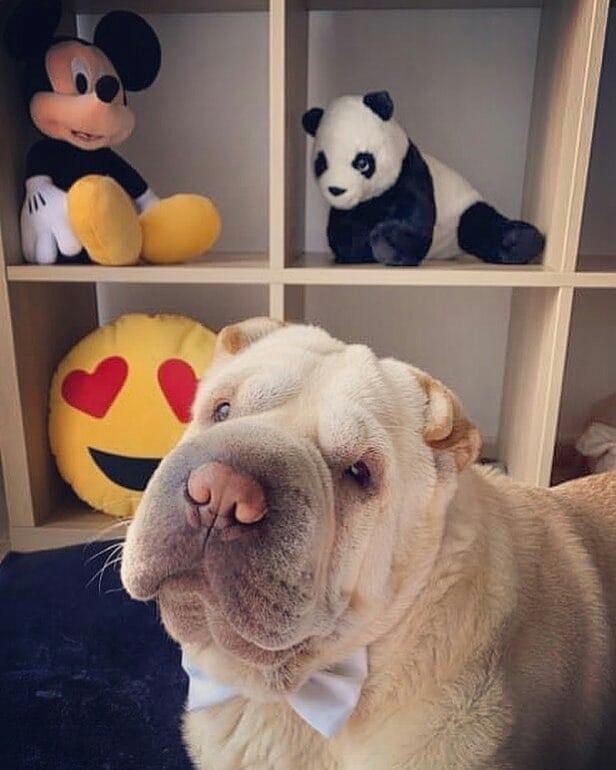 Shar Pei Dog 13