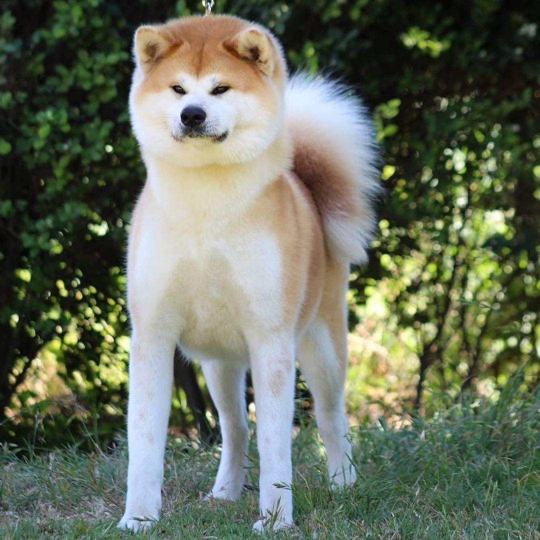 Vệ sinh cho chó Akita Inu