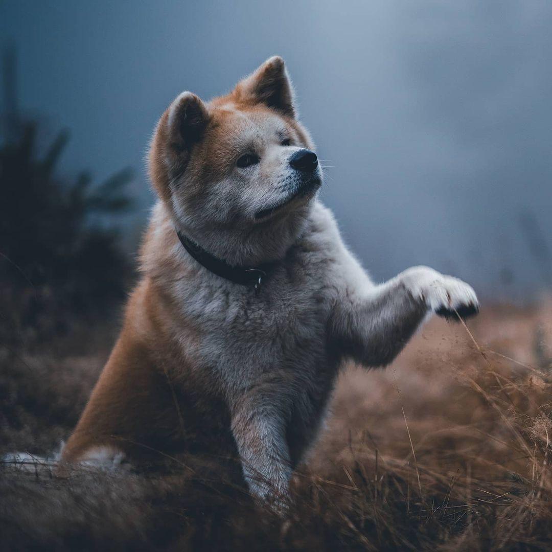 Chăm sóc chó Akita khi mang thai