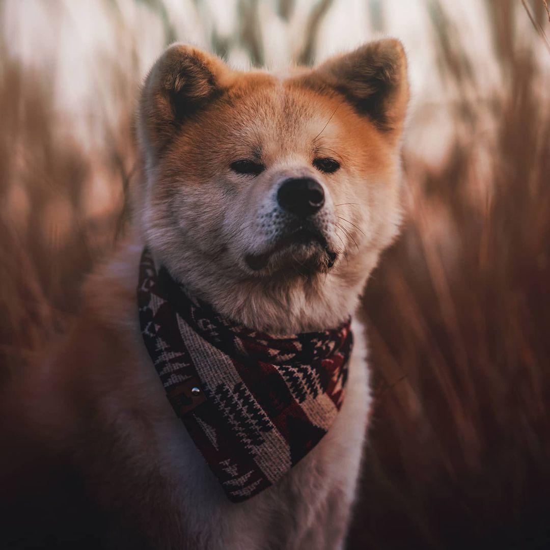 Độ thuần chủng ảnh hưởng tới giá chó Akita