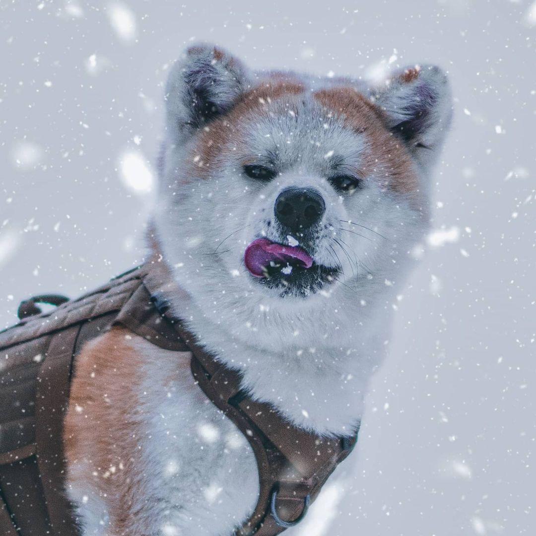 Về độ tuổi giới tính ảnh hưởng tới giá chó Akita