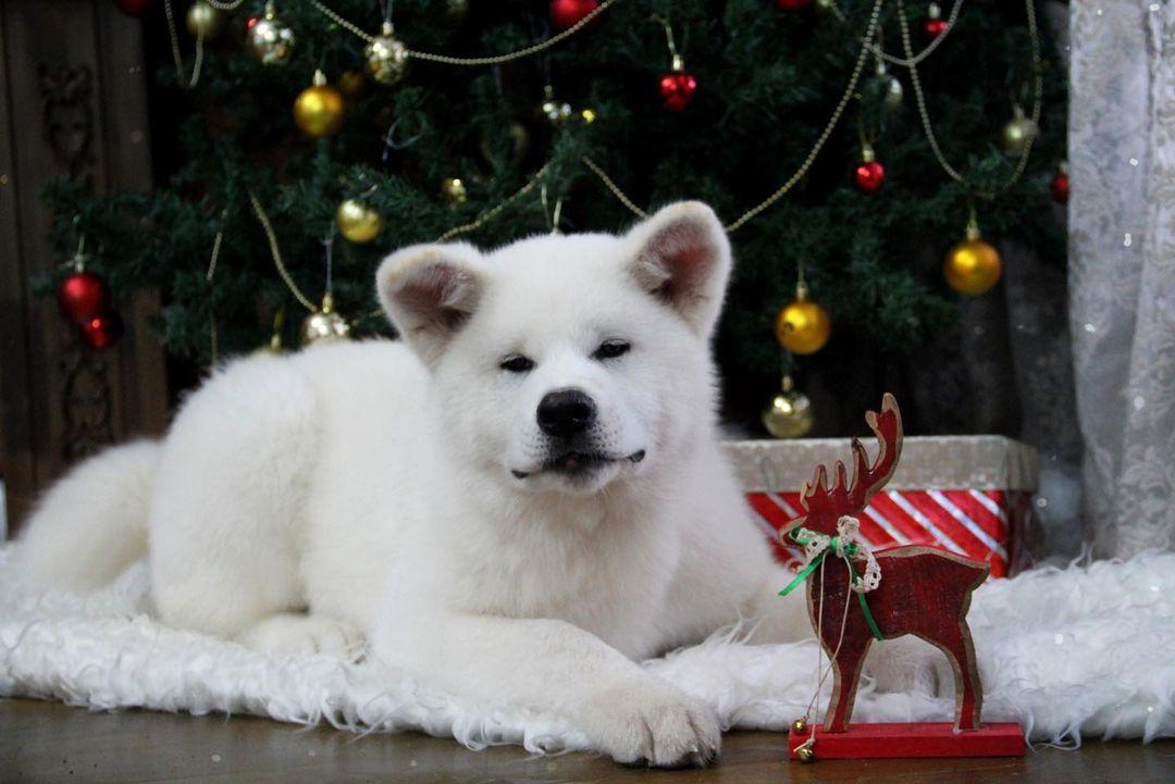 Yếu tố màu lông ảnh hưởng tới giá chó Akita