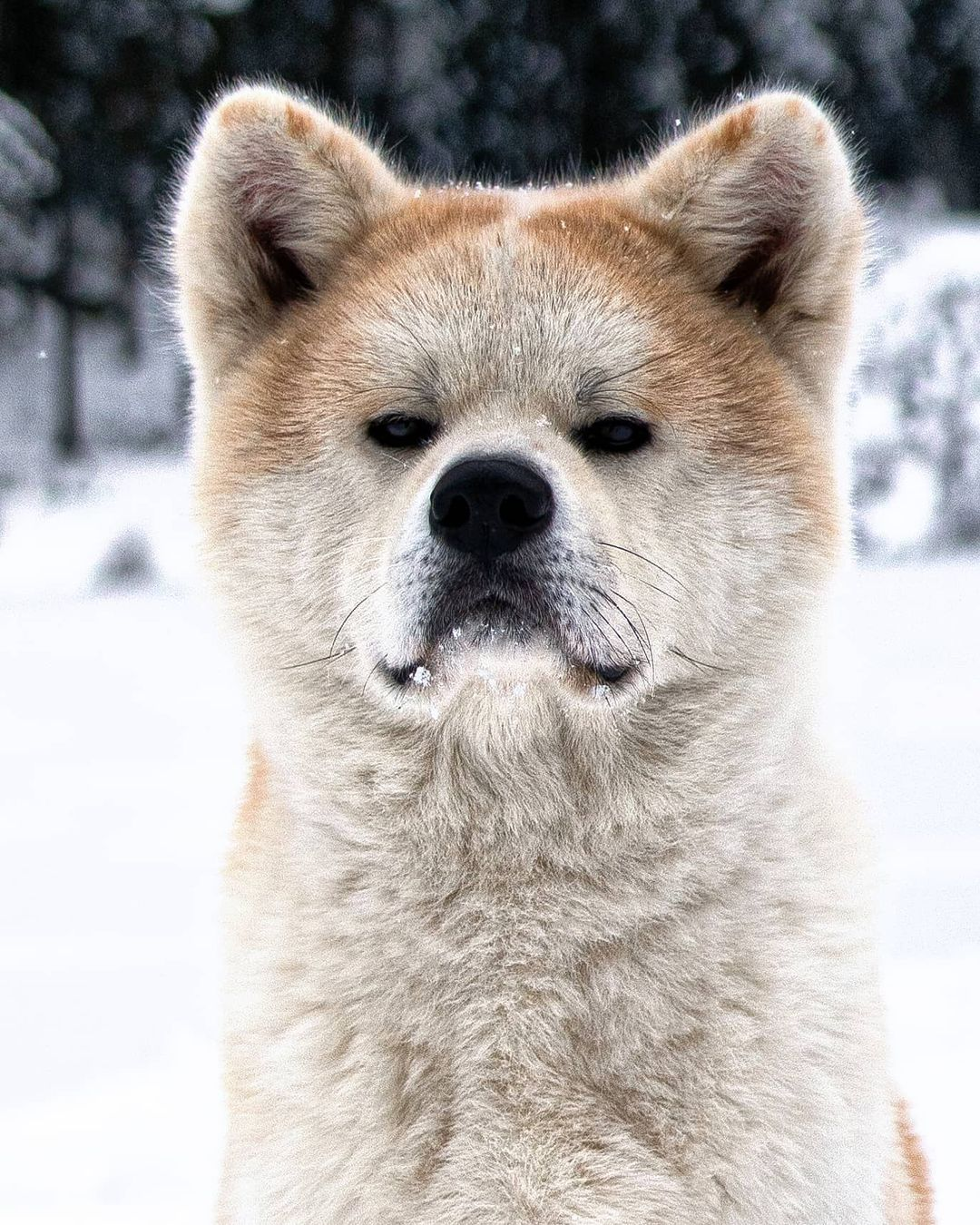 Dinh dưỡng cho chó Akita Inu