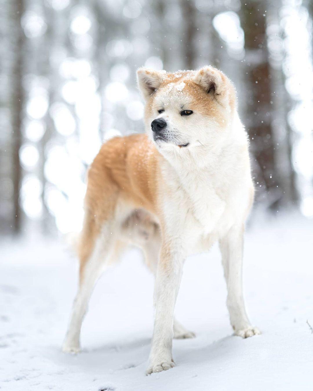 Đối với chó Akita, các loại gan, tim, phổi, thận sẽ được xem là phù hợp