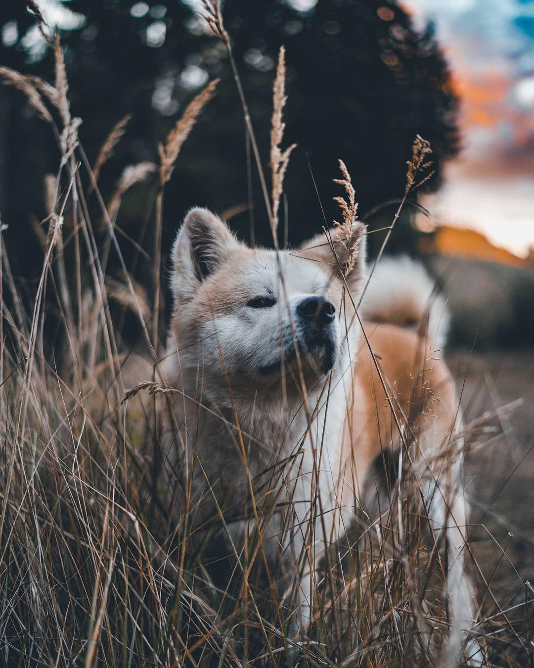 Các loại thức ăn tự nhiên phù hợp với chó Akita