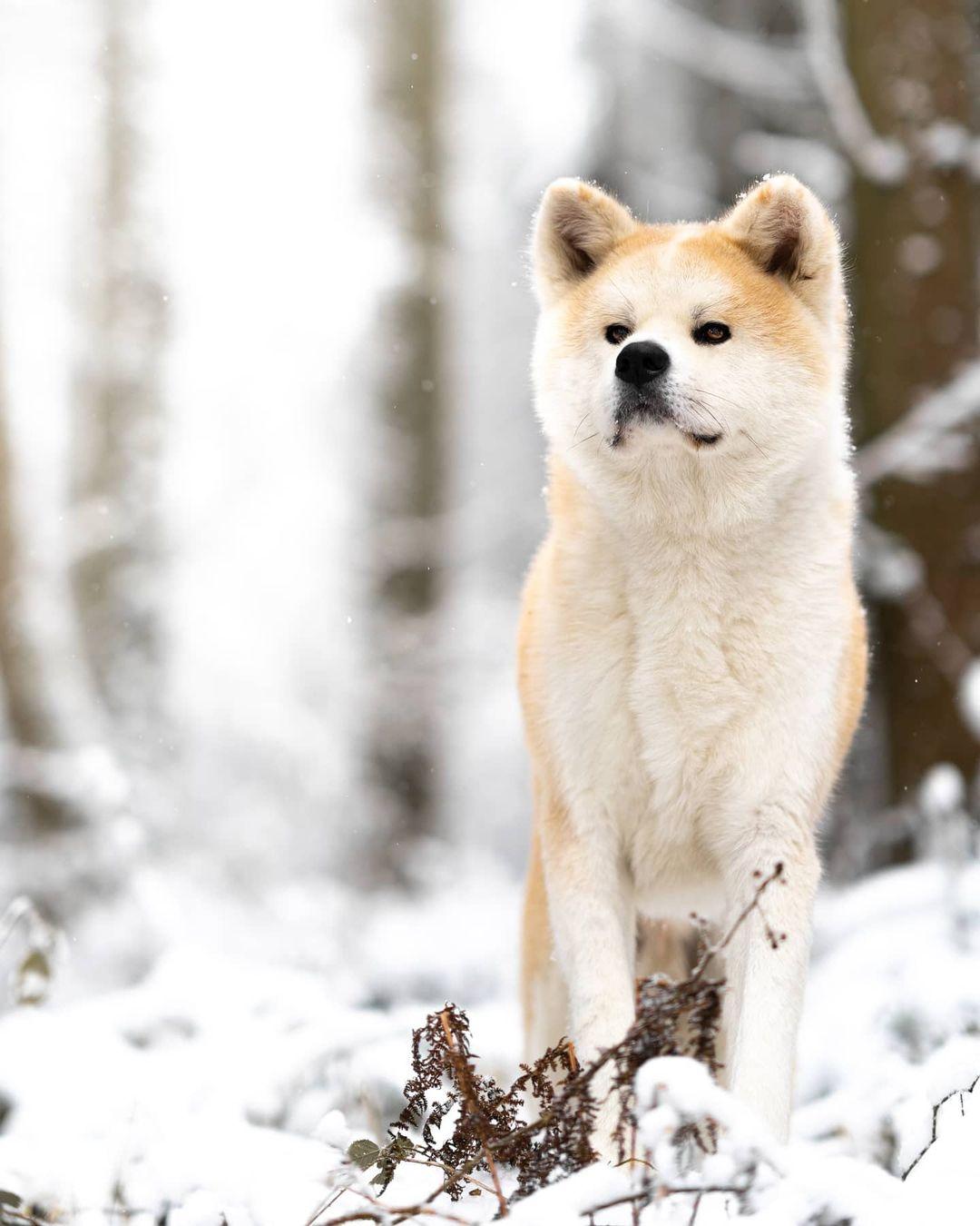 Yếu tố về độ thuần chủng ảnh hưởng tới giá chó Akita