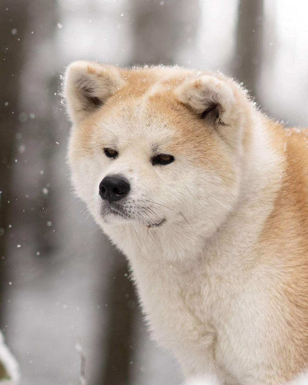 Hình dáng chó Akita