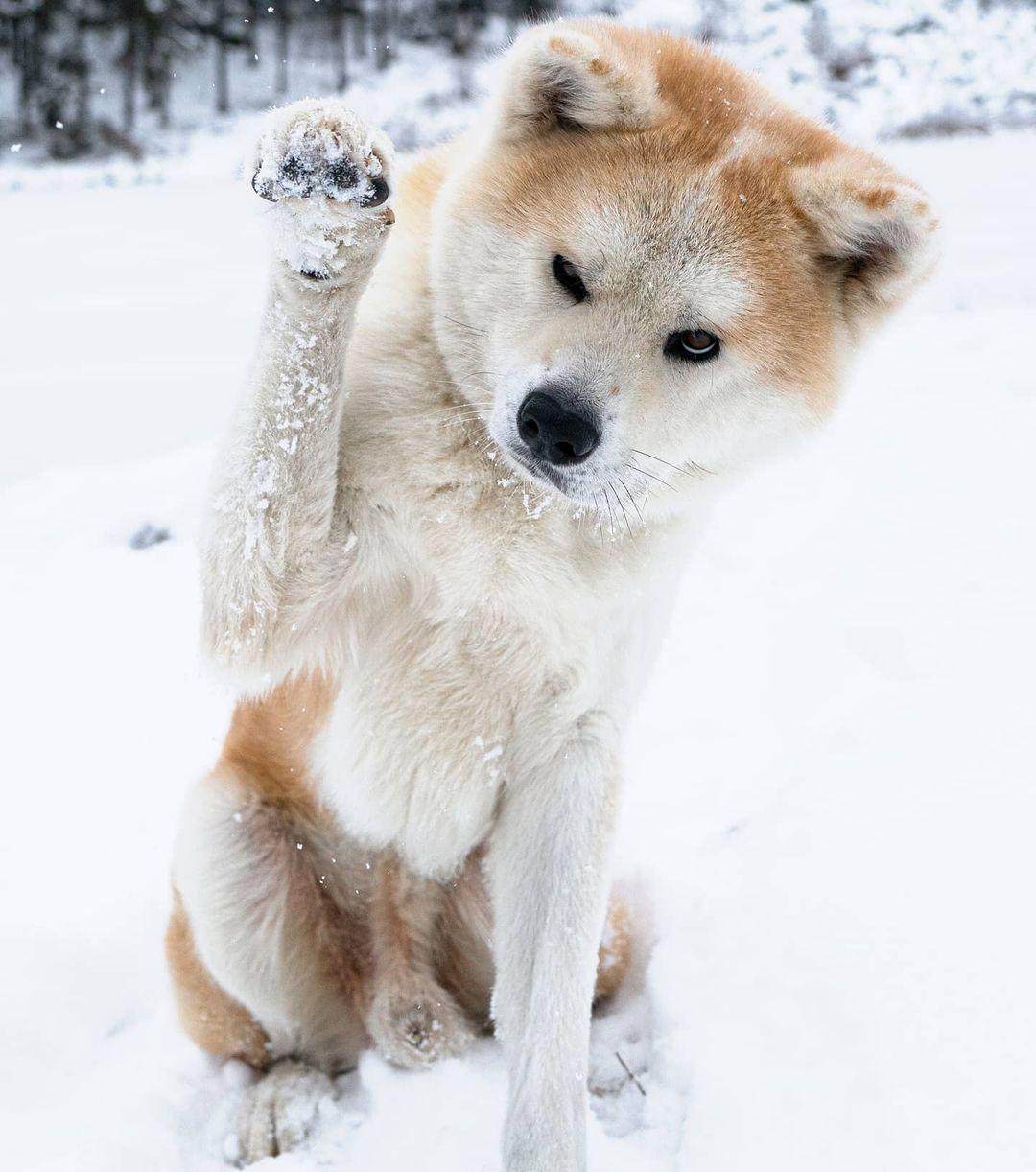 Đặc điểm ngoại hình của chó Akita Inu