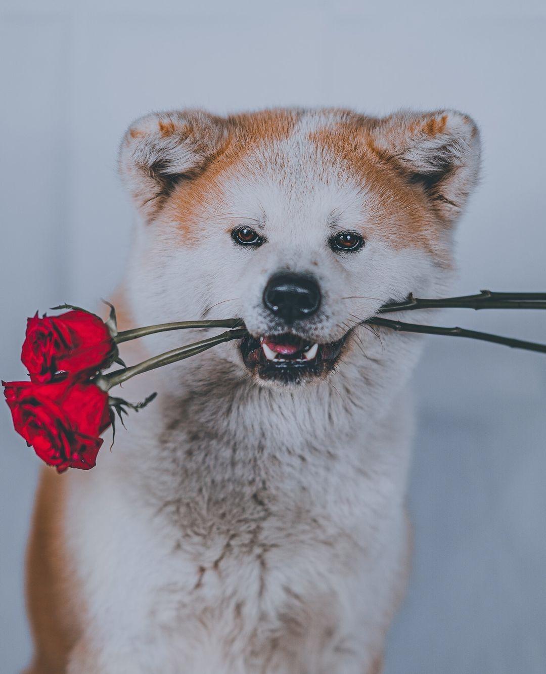 Bộ lông chó Akita