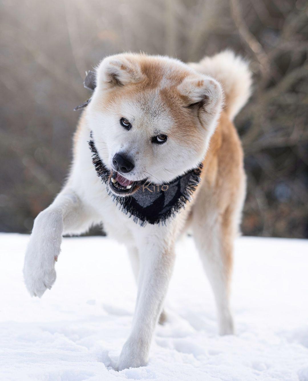 Giống chó trung thành nhất mà ai cũng muốn nhận nuôi!