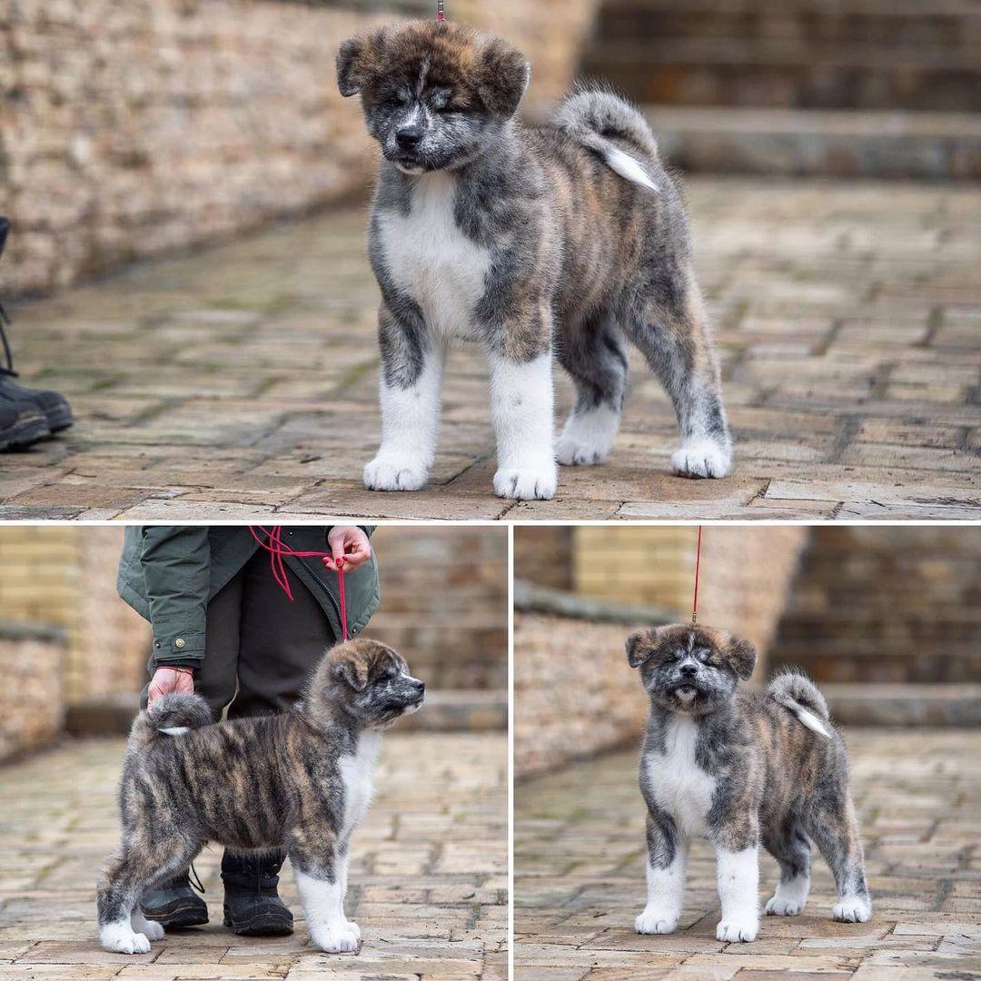 Cách chăm sóc Chó Akita sinh sản - Chó Akita Mang Thai Bao Lâu?