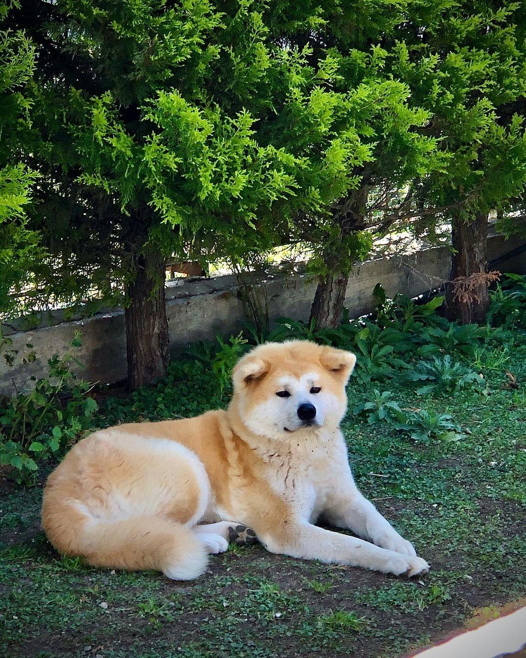 Chó Akita ăn gì? Chế độ dinh dưỡng cho Akita Inu theo từng lứa tuổi