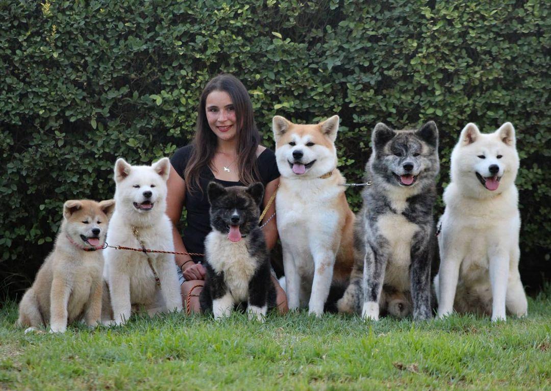 Giống chó Akita Inu – Thông tin tổng quát về loài chó Nhật Bản